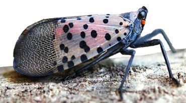 Image of Spotted Lanternfly Adult with Closed Wings